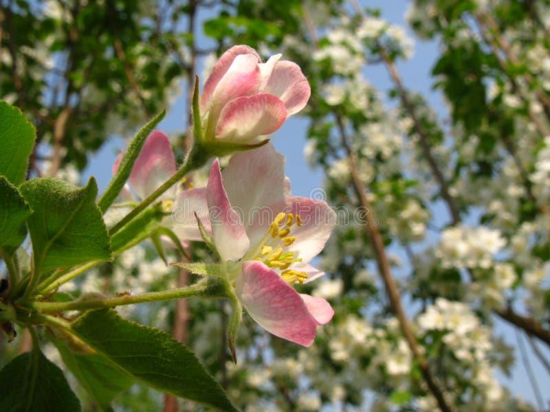 Flor de los spectabilis del Malus fotos de archivo libres de regalías