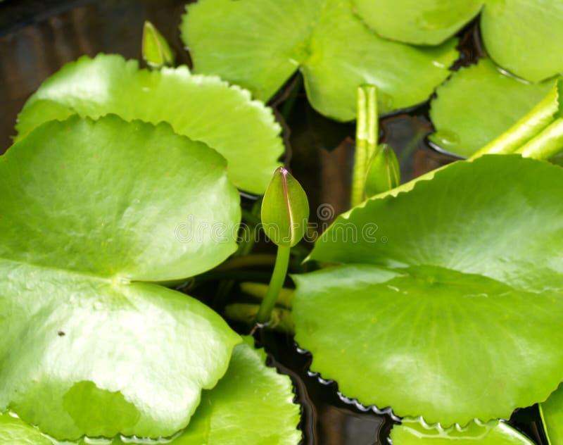Flor de loto 05 foto de archivo libre de regalías