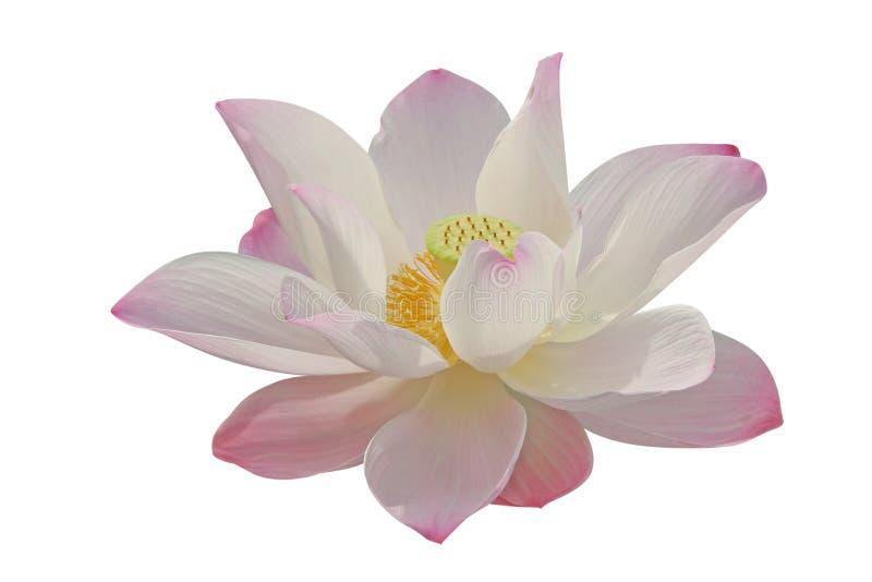 Flor de loto fotos de archivo libres de regalías