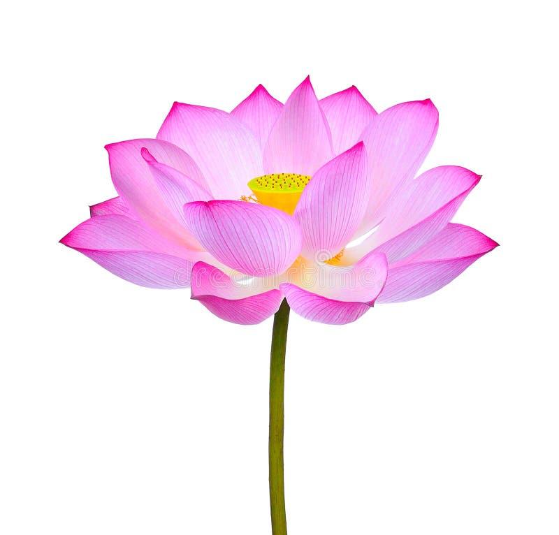 Flor de loto aislada en el fondo blanco fotografía de archivo libre de regalías