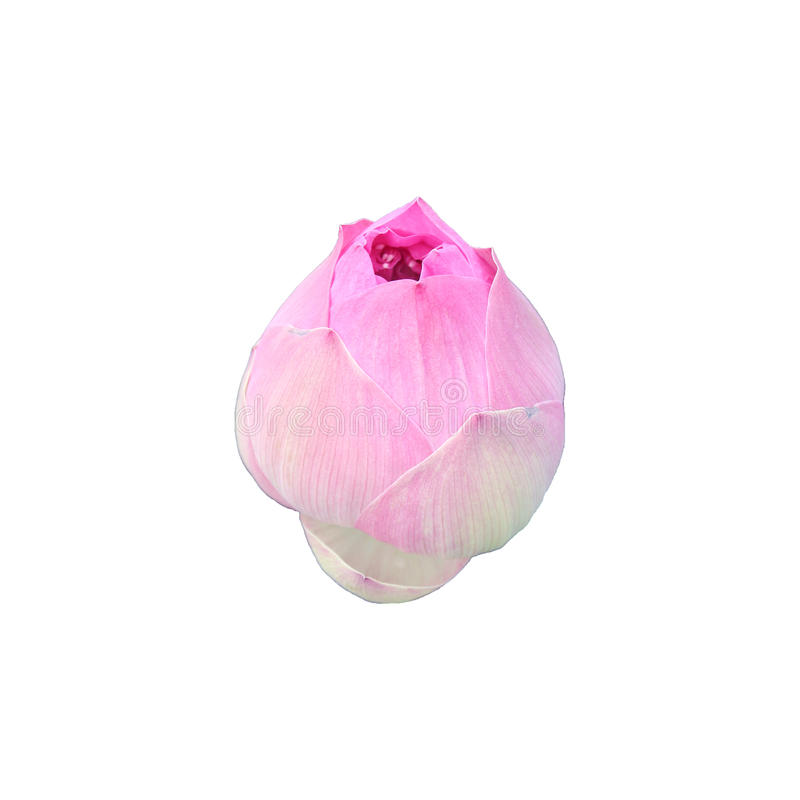 Flor de loto aislada en el fondo blanco foto de archivo