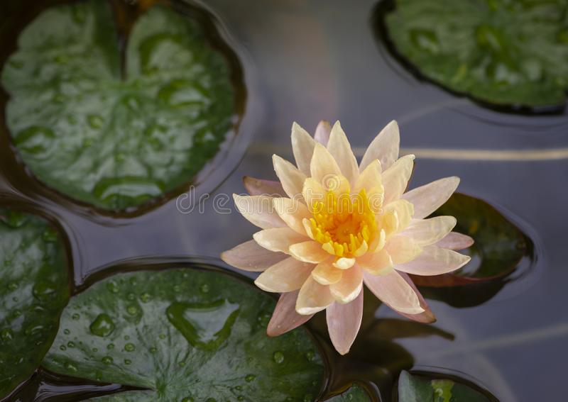 Flor de loto amarilla rosácea fotografía de archivo libre de regalías