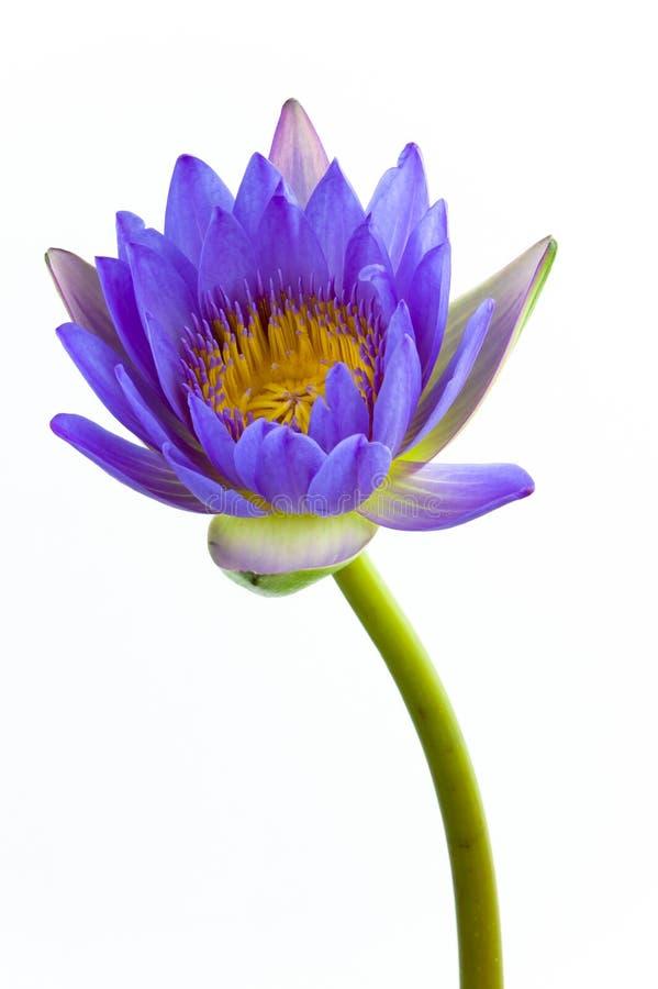 Flor de loto azul y fondo blanco. fotos de archivo libres de regalías