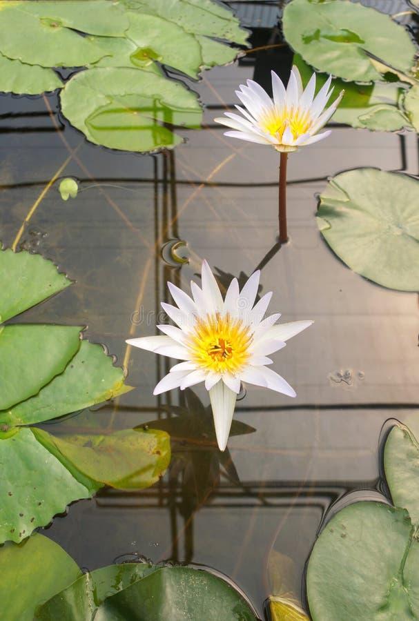 Flor de loto blanco imagen de archivo