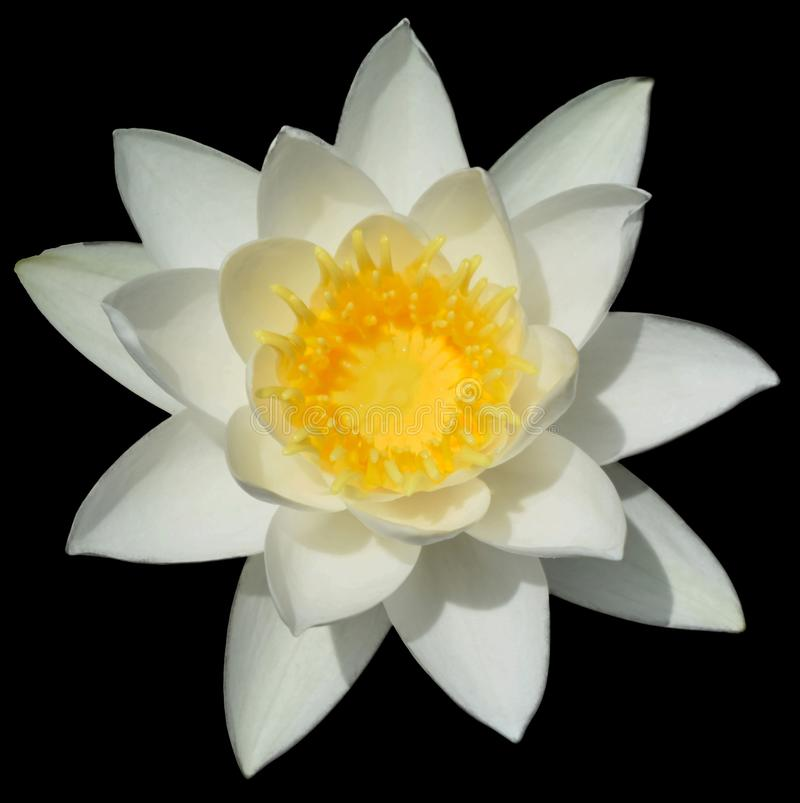 Flor de loto blanco con el centro amarillo foto de archivo