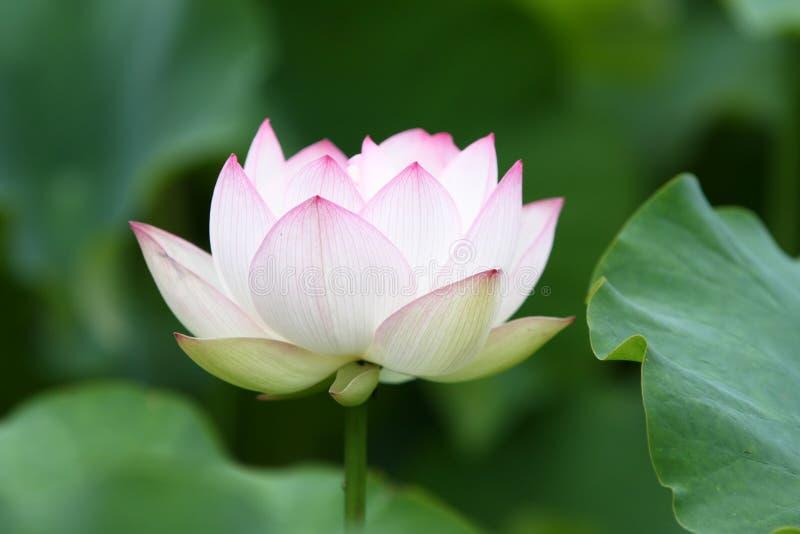 Flor de loto blanco en la plena floración. fotografía de archivo libre de regalías