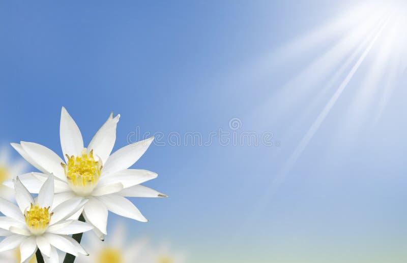 Flor de loto blanco hermosa con natural imagen de archivo