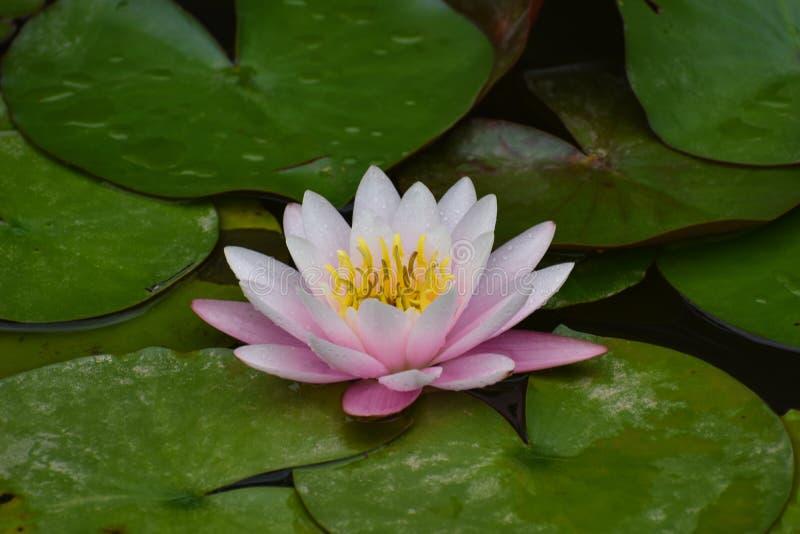 Flor de loto blanco rosada foto de archivo