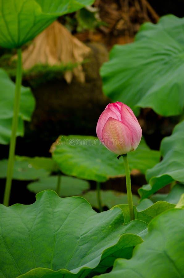 Flor de loto cerrada imagen de archivo