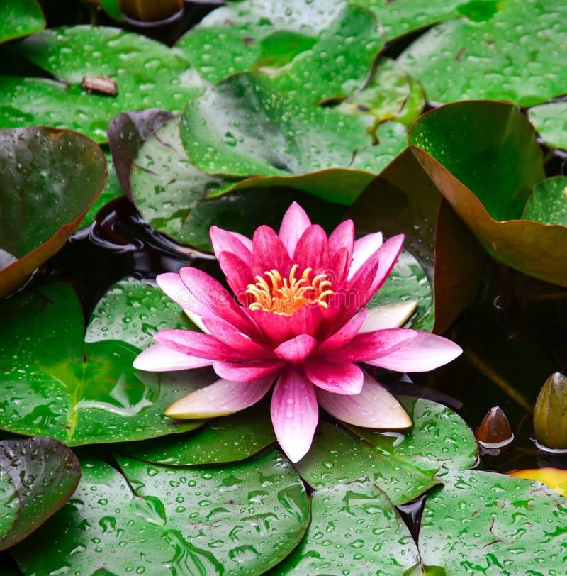 Flor de loto del Nymphaea, fotografía de archivo