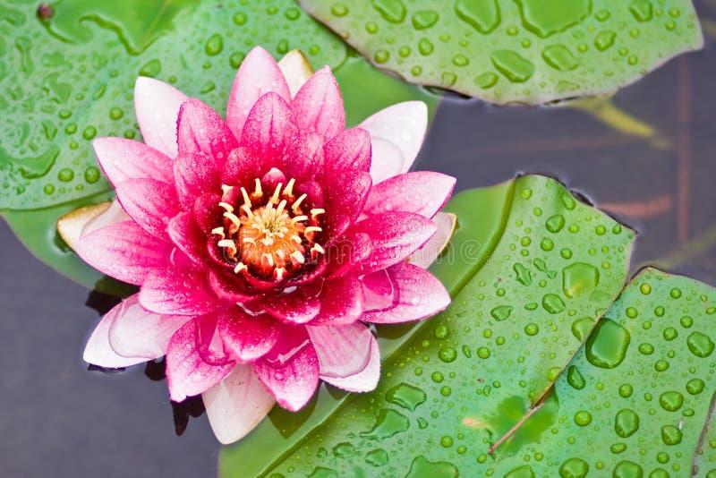 Flor de loto en la charca fotos de archivo
