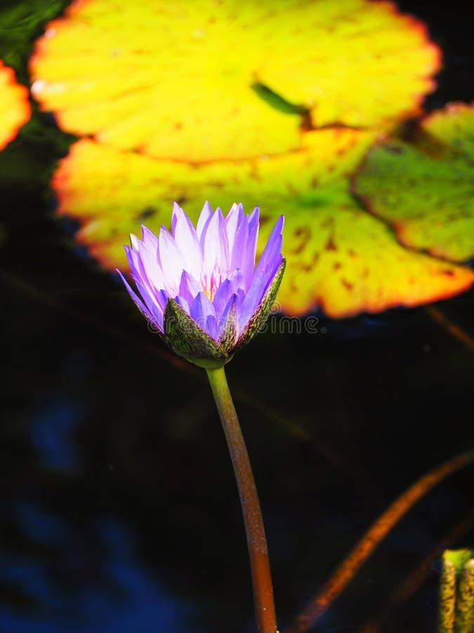 Flor de loto exótica con el fondo de la hoja foto de archivo libre de regalías