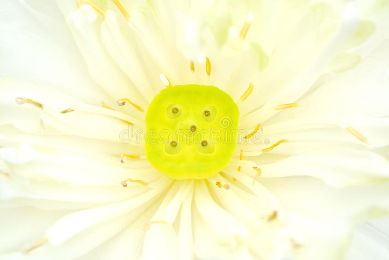 Download Flor de loto hermosa imagen de archivo. Imagen de belleza - 42440701