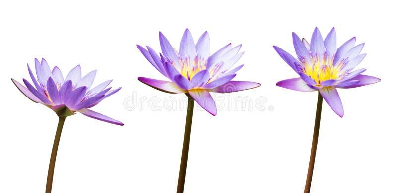 Flor de loto o lirio de agua púrpura aislado en el fondo blanco Tenga trayectoria de recortes fácil para cortado Flores para el b fotos de archivo