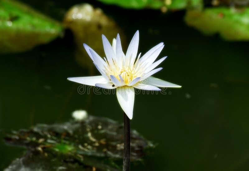 Flor de loto púrpura blanca imagenes de archivo