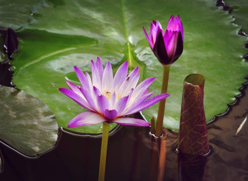 Flor de loto púrpura en la charca fotografía de archivo libre de regalías