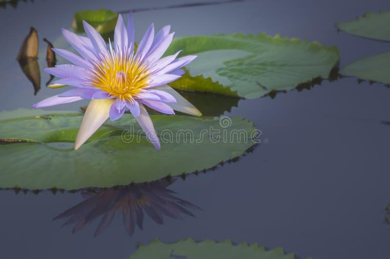 Flor de loto púrpura y amarilla imagen de archivo