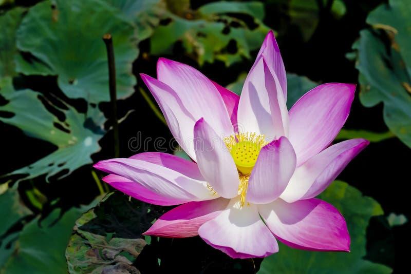 Flor de loto rosada del flor foto de archivo
