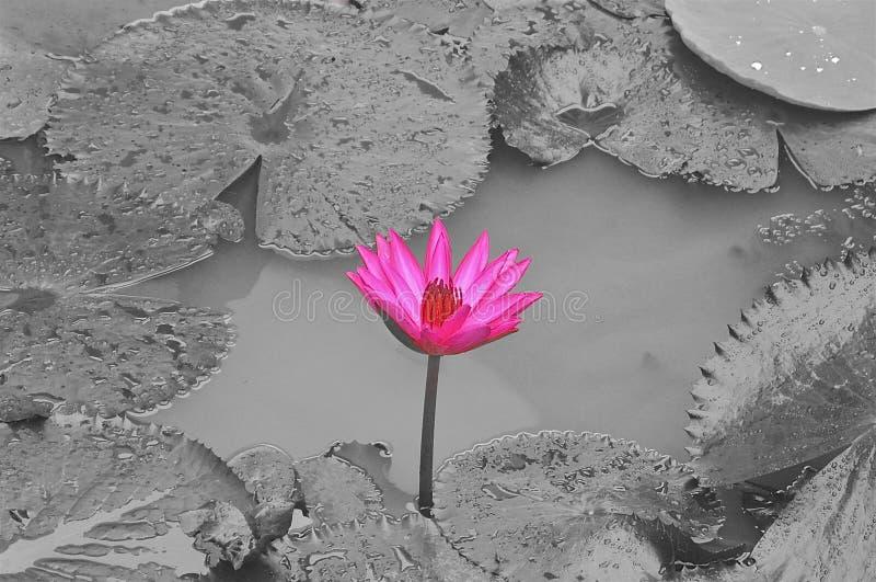 Flor de loto rosada en fondo blanco y negro imagen de archivo libre de regalías