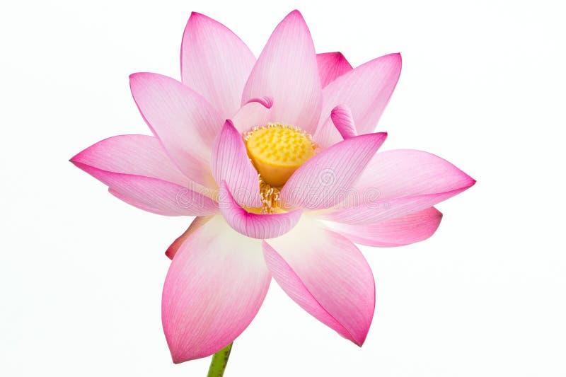 Flor de loto rosada y fondo blanco. imagen de archivo libre de regalías