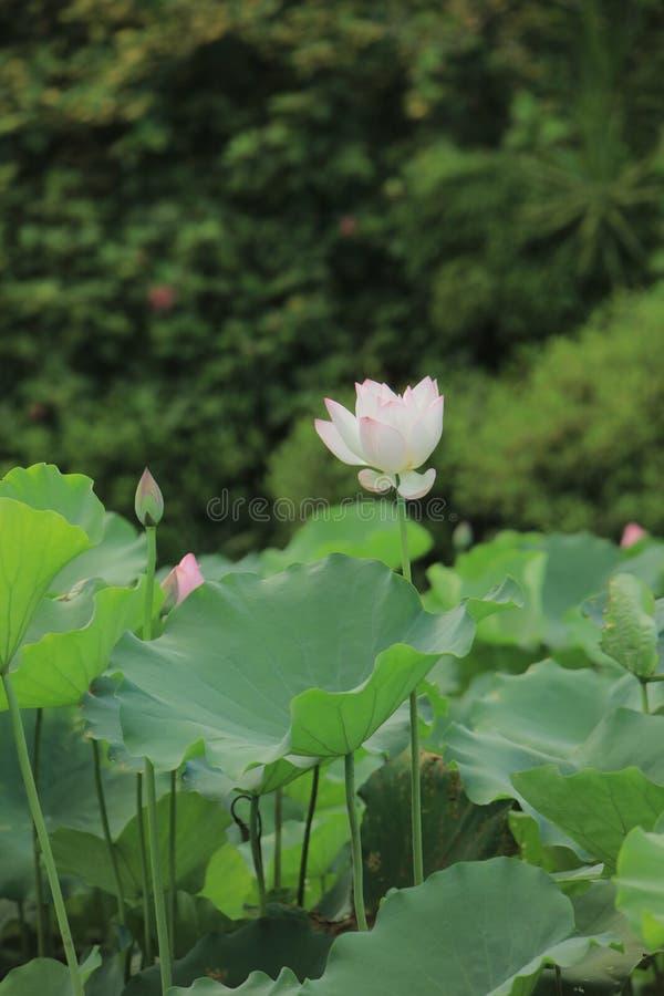 Flor de loto Rosado-blanca del foco selectivo en la piscina, fotos de archivo