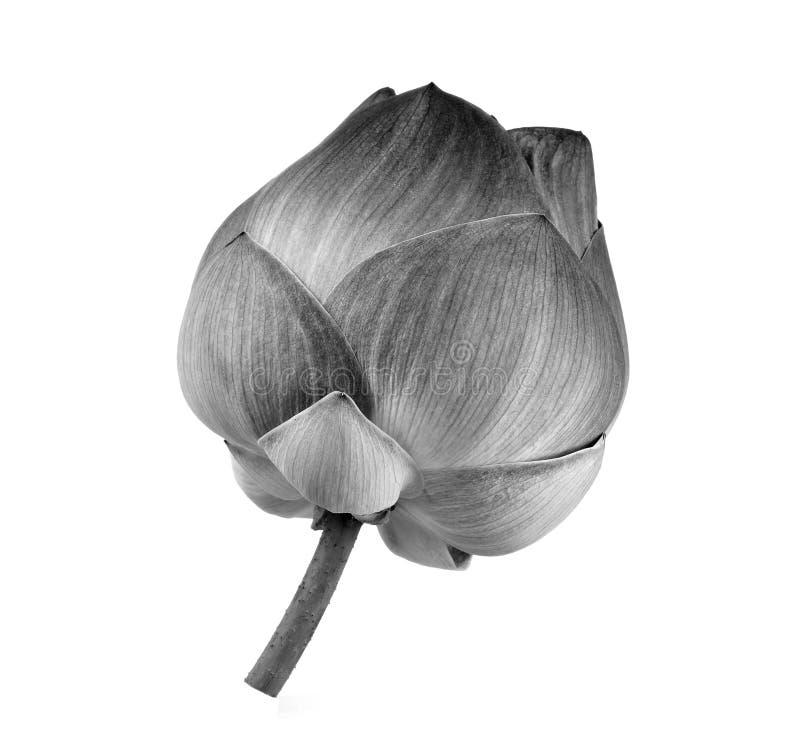Flor de Lotus blanco y negro fotografía de archivo