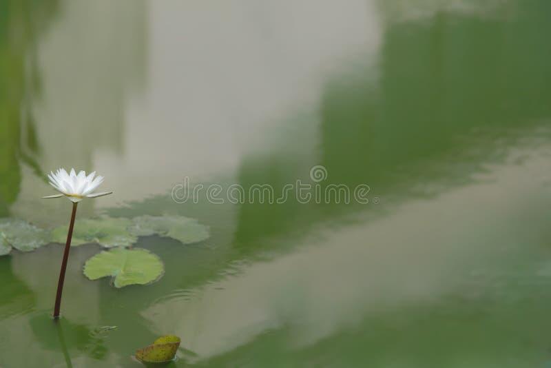 Flor de Lotus branco em uma haste a emergir acima da superfície da água imagens de stock royalty free