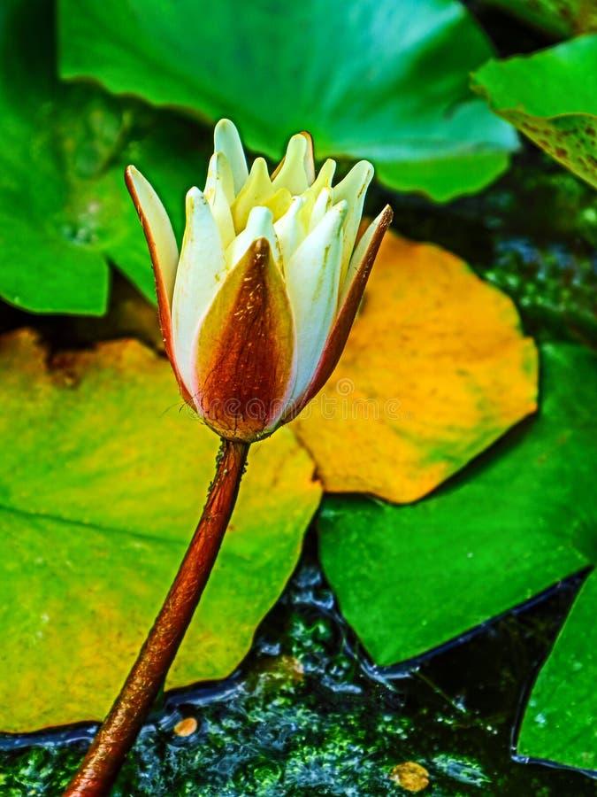 Flor de Lotus com as folhas do verde amarelo imagens de stock royalty free