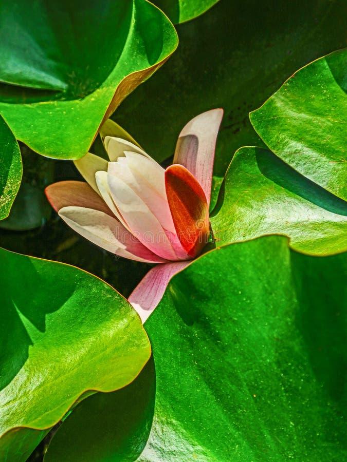 Flor de Lotus com as folhas do verde amarelo imagem de stock