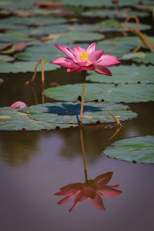 Flor de Lotus com reflexão fotografia de stock
