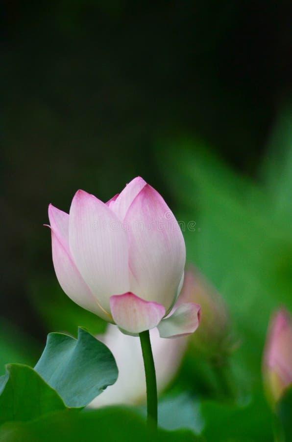 Flor de Lotus e de flor de Lotus plantas fotografia de stock royalty free