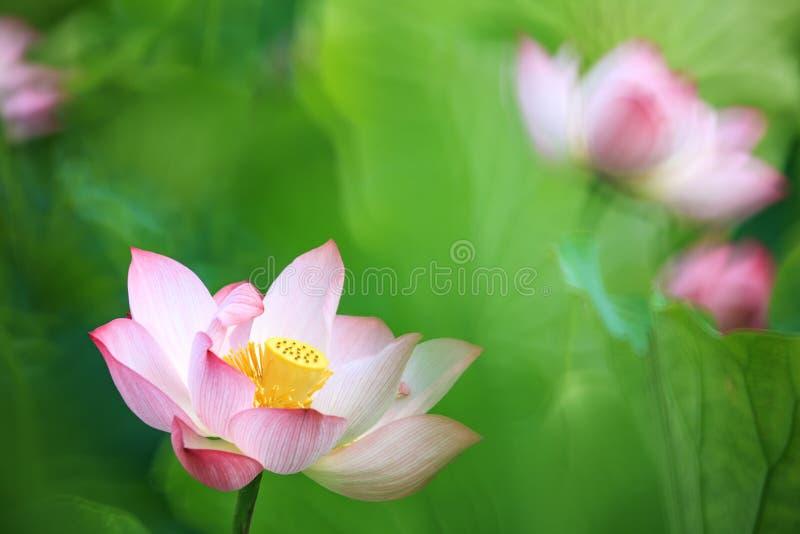 Flor de Lotus e de flor de Lotus plantas fotografia de stock
