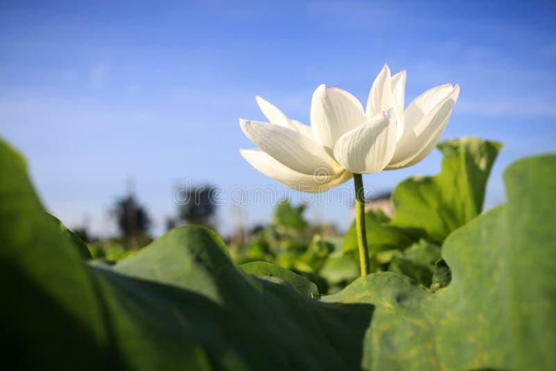 Flor de Lotus e de flor de Lotus plantas fotos de stock