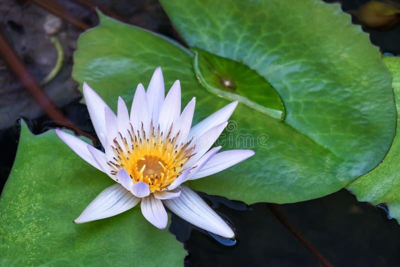 Flor de Lotus e de flor de Lotus plantas foto de stock royalty free