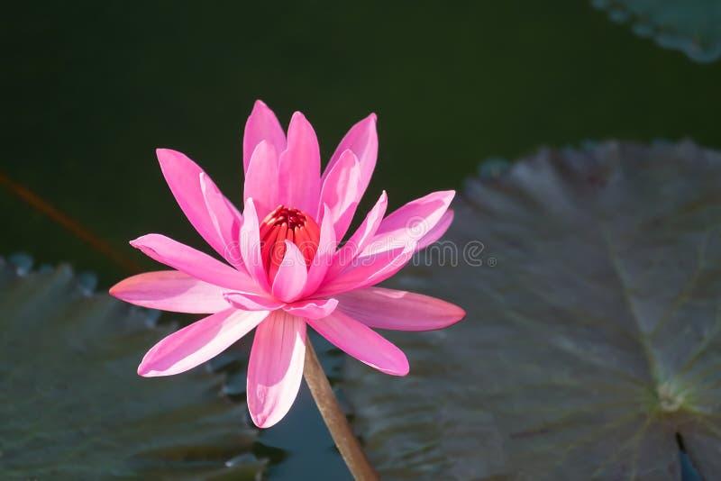 Flor de Lotus e de flor de Lotus plantas imagem de stock royalty free