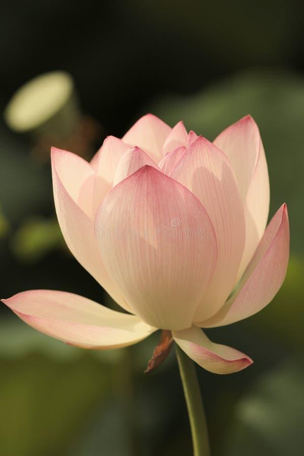 Flor de Lotus e de flor de Lotus plantas imagem de stock