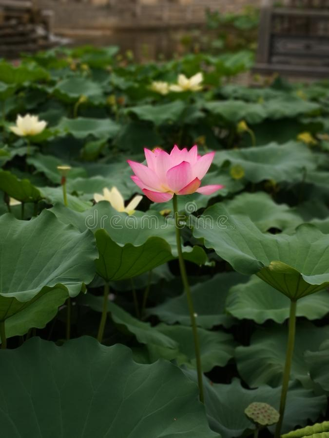 Flor de Lotus en el lago foto de archivo libre de regalías