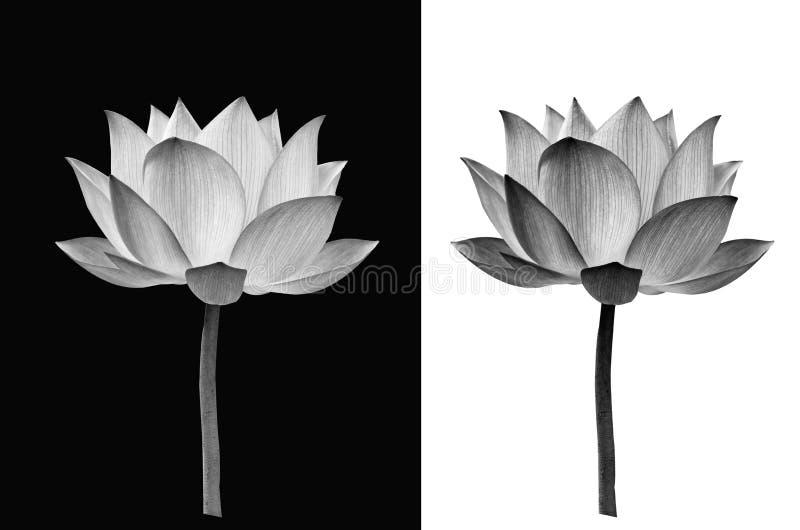 Flor de Lotus en fondo blanco y negro fotografía de archivo libre de regalías