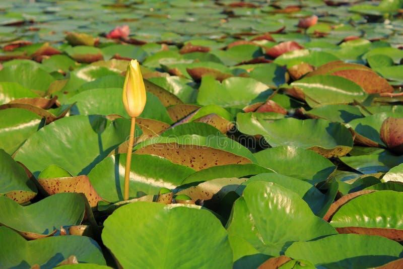 Flor de Lotus en jardín tropical imágenes de archivo libres de regalías