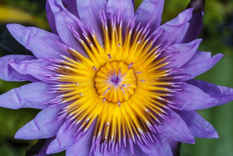 Flor de Lotus Feche acima do pólen fotografia de stock royalty free