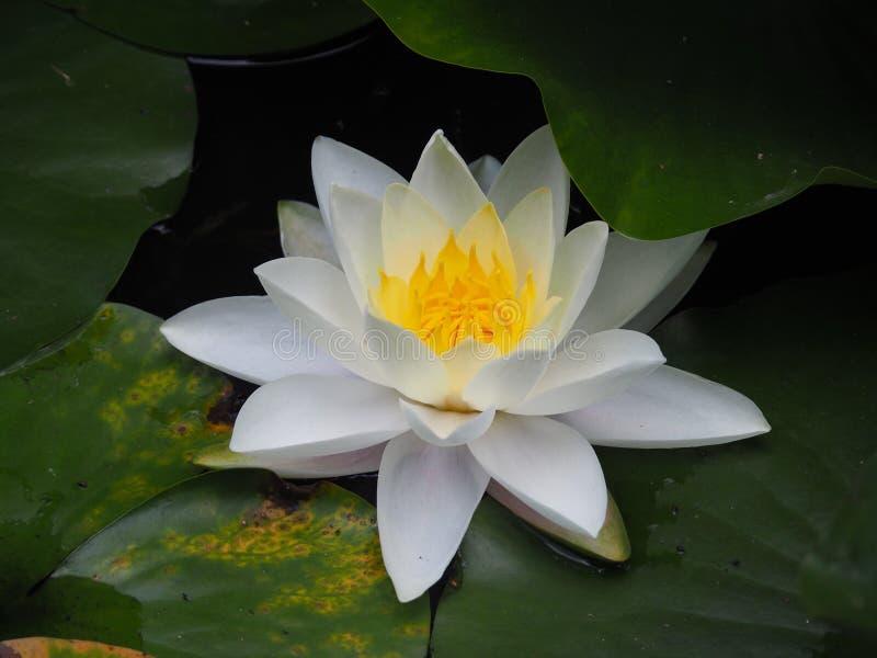 Flor de Lotus fotografía de archivo