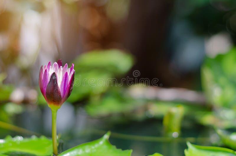 Flor de Lotus na associação da manhã fotos de stock