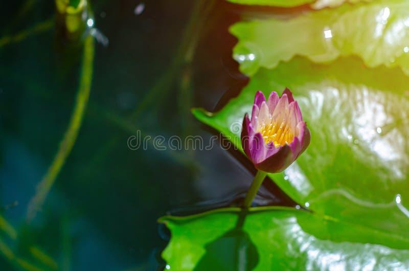 Flor de Lotus na associação da manhã fotografia de stock
