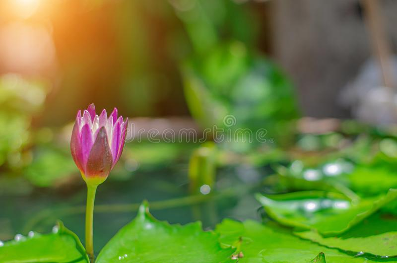 Flor de Lotus na associação da manhã fotos de stock royalty free