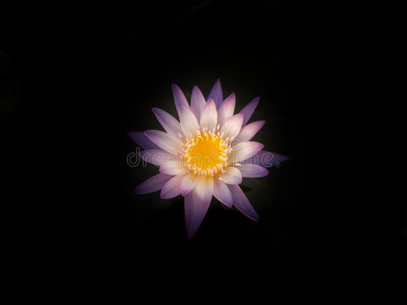 Flor de Lotus na lagoa da cidade fotografia de stock