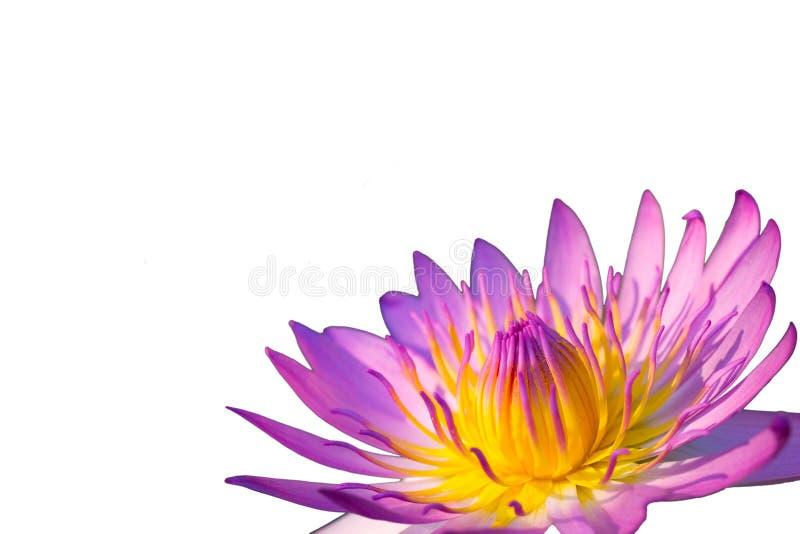Flor de Lotus no fundo branco imagem de stock royalty free