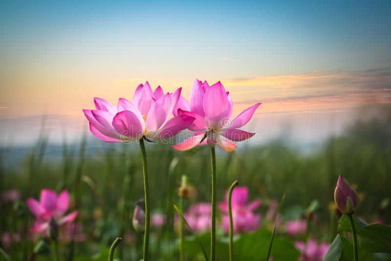 Flor de Lotus no por do sol fotografia de stock