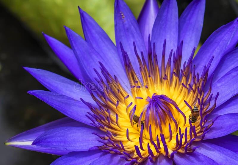 Flor de Lotus no roxo fotos de stock royalty free