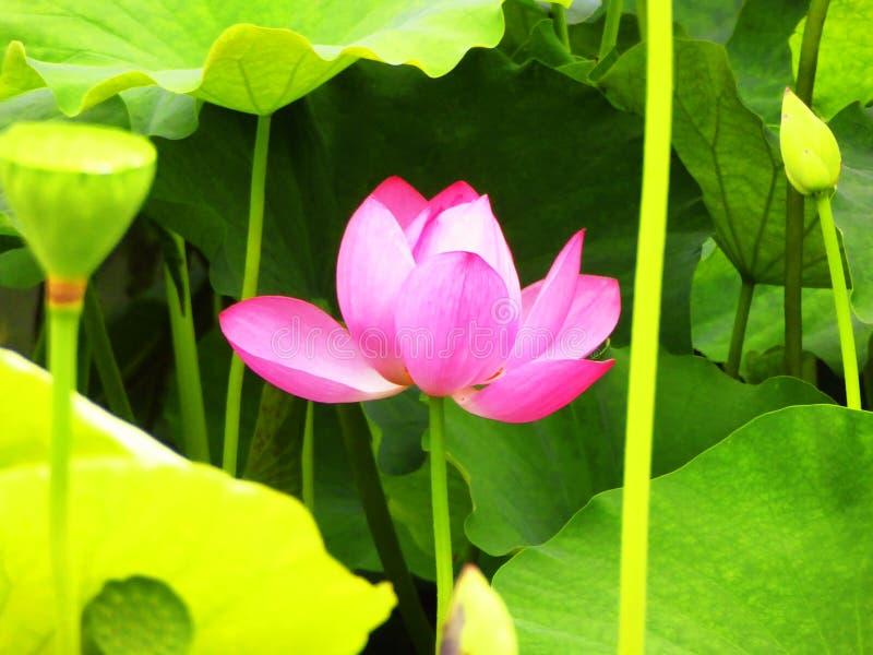 Flor de Lotus que floresce dentro do jardim de Guyi fotografia de stock royalty free