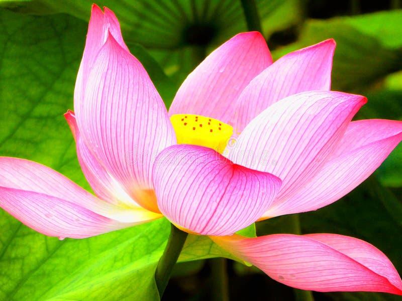 Flor de Lotus que floresce dentro do jardim de Guyi fotografia de stock